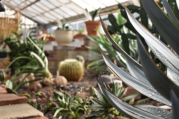 Photograph of the Cranbrook House & Gardens Conservatory Greenhouse Cactus Garden.